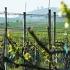 vinice na Staré hoře